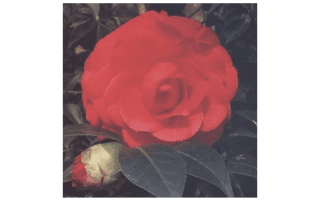 CAMELIA JAPONICA RED RED ROSE