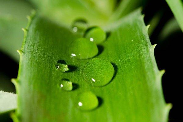 Delle foglie di aloe con delle gocce di acqua