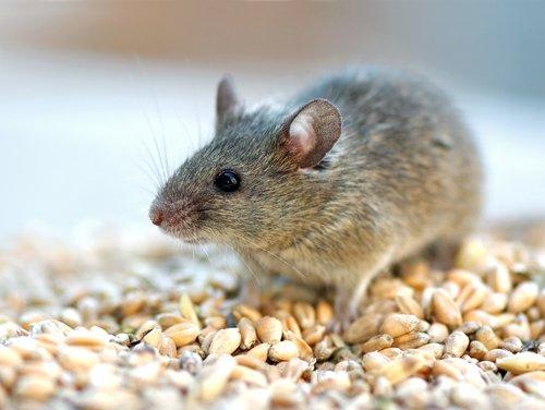 piccolo topolino