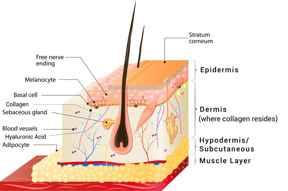 Layers of the skin showing where collagen resides | RenewAlliance