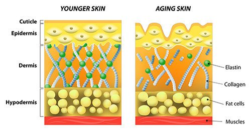 Decreased estrogen leads to decreased collagen levels