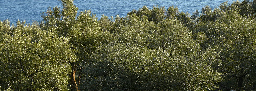 coltivazione ulivi genova