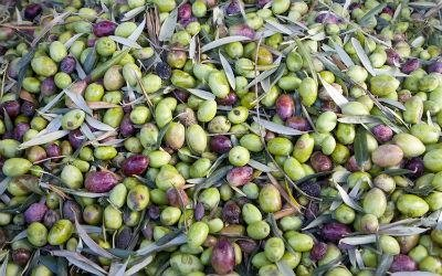olive liguri