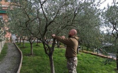 olivicoltura davagna genova