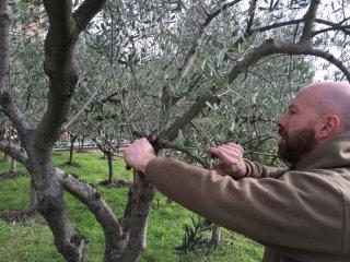 olivicoltura davagna professione natura