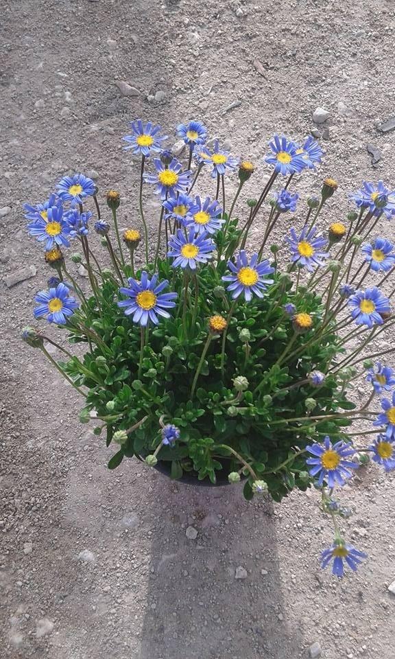 Piante da esterno bari vivai decandia for Vendita piante ornamentali