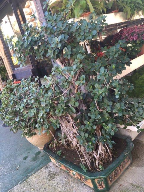 pianta in vaso tipo bonsai