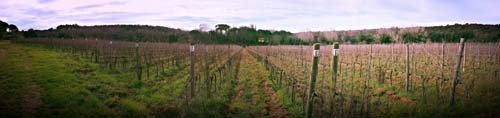 vigneti- vino toscano