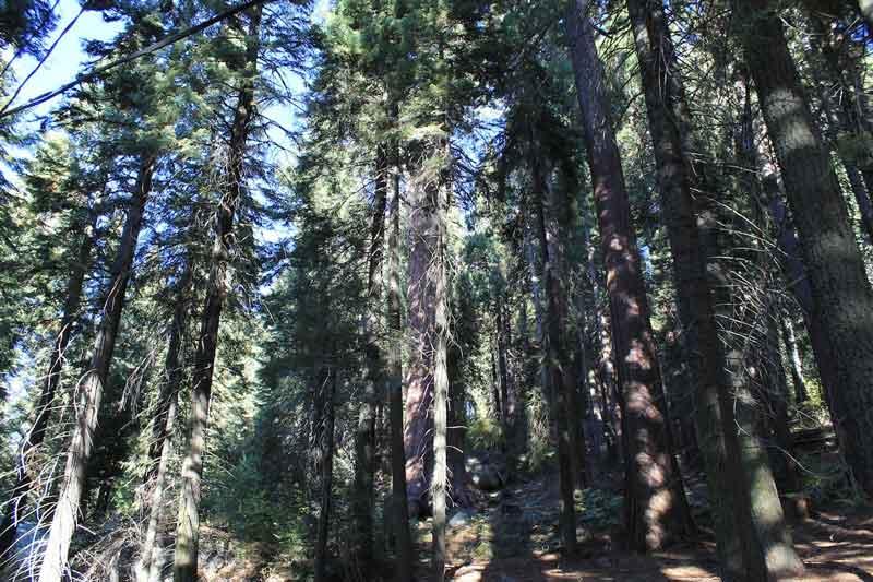 Sequoia tree with overgrowth