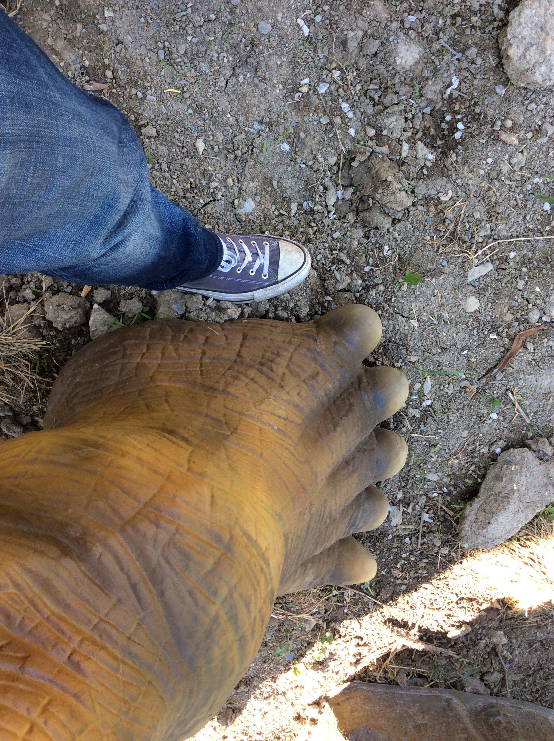 Un piede  umano e quello di un dinosauro a confronto