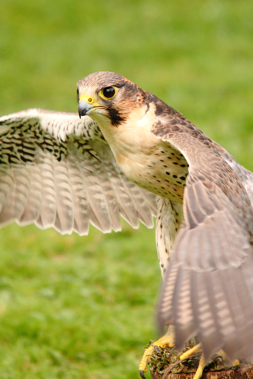 Saker Eagle