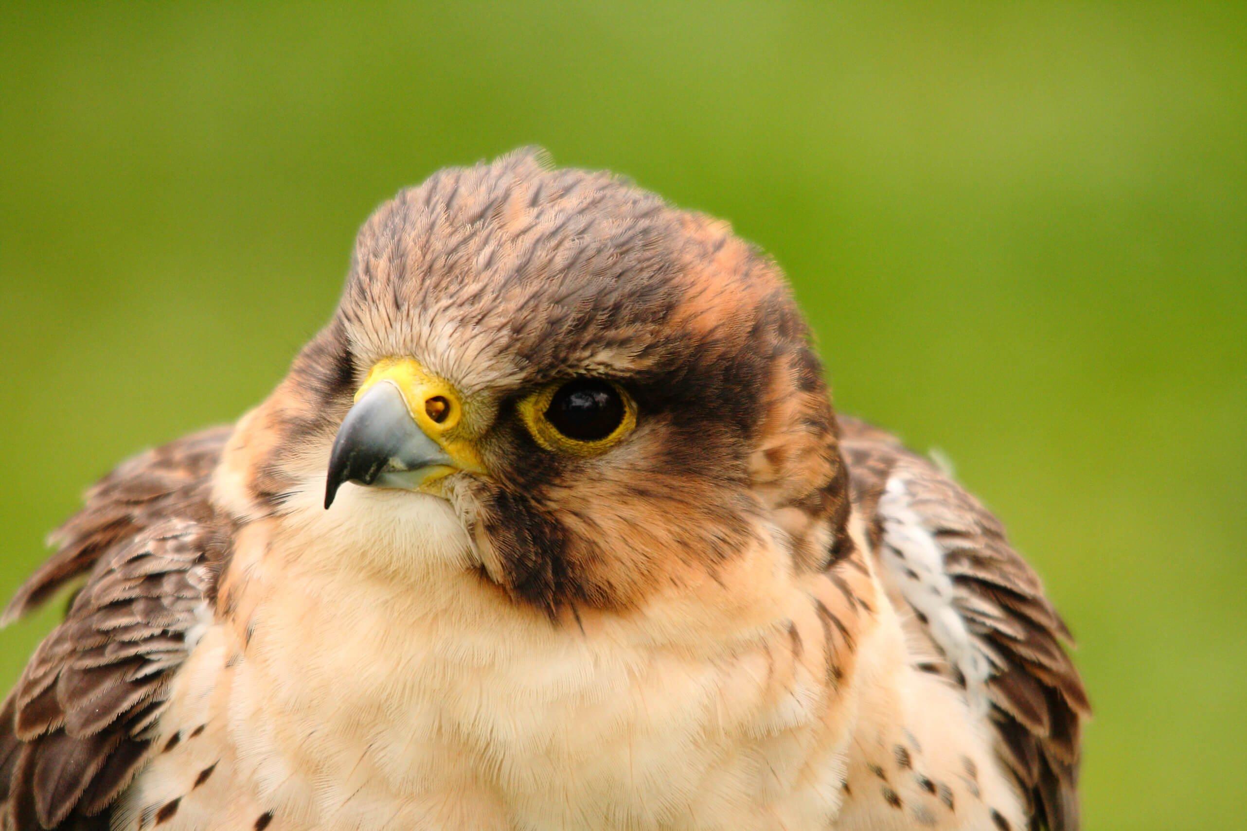 Sakar falcon