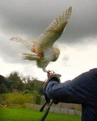 Owl landing on handler's glove
