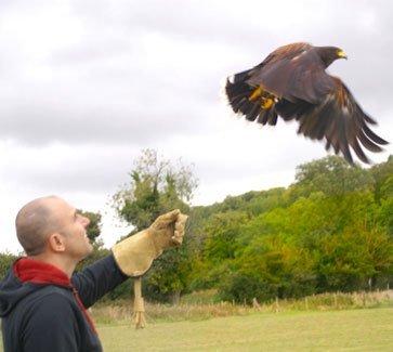 Man handling Harris Hawk