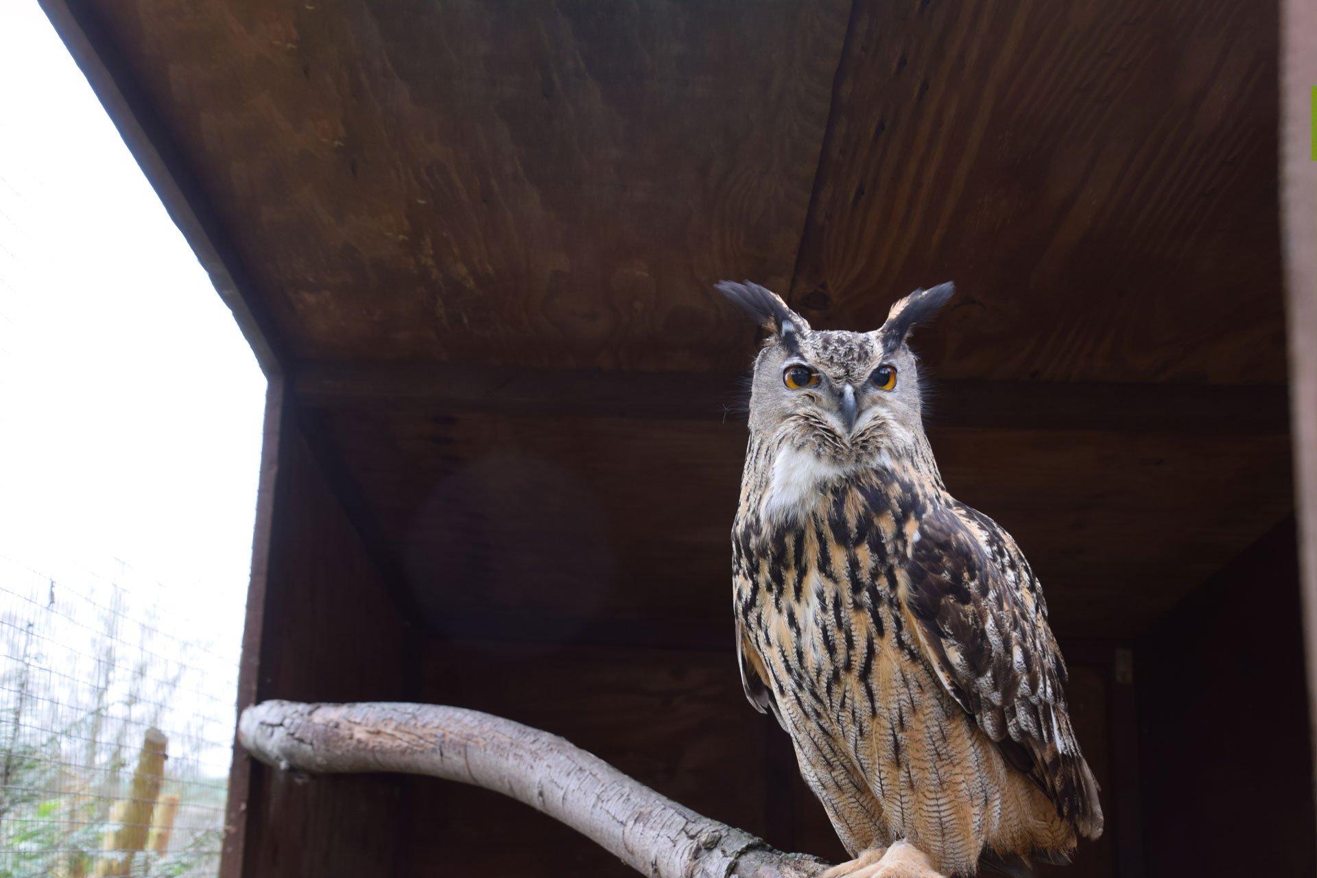 The European Eagle Owl