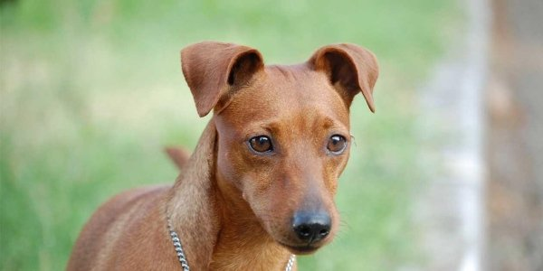 pinscher nano femmina