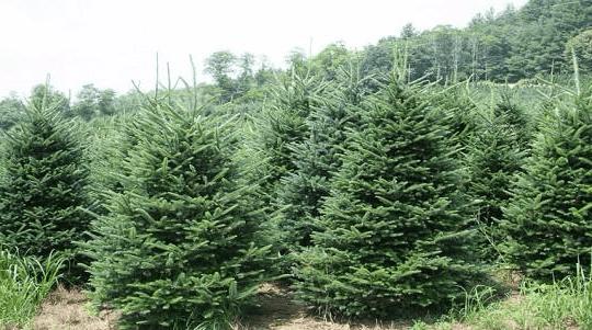 coltivazione alberi di natale