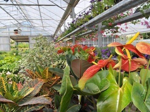 ficus e piante ornamentali