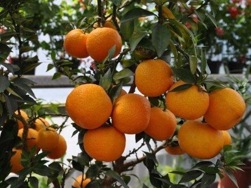 albero di aranci