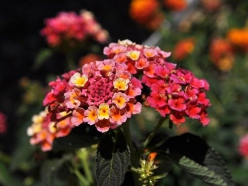 fiori per aiuole e cortili