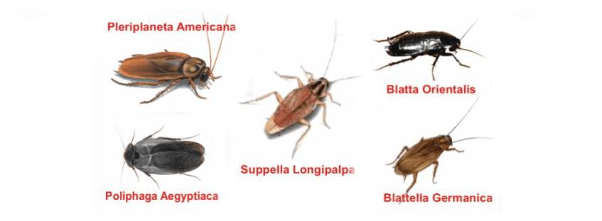 Disinfestazione blatte e scarafaggi milano monza lodi for Formiche volanti in casa