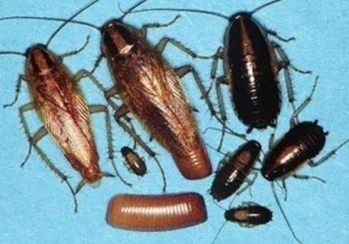 larve di blatta