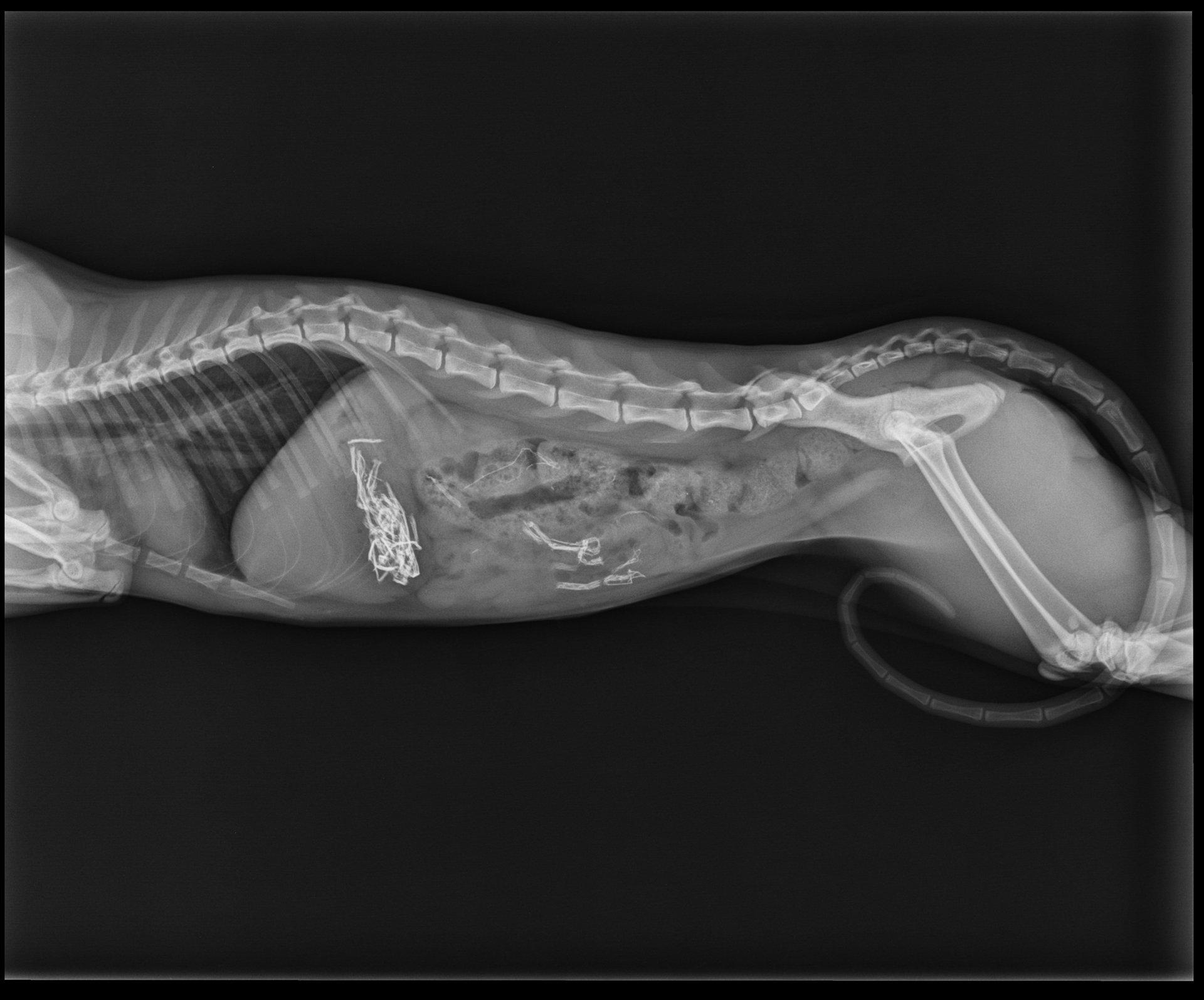 esame radiografico veterinario