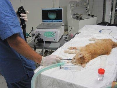 gatto anestetizzato