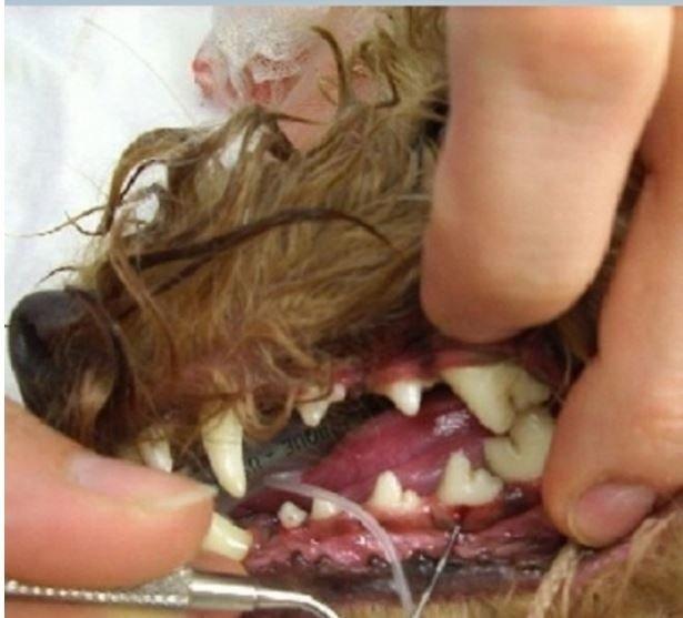 dentatura cane