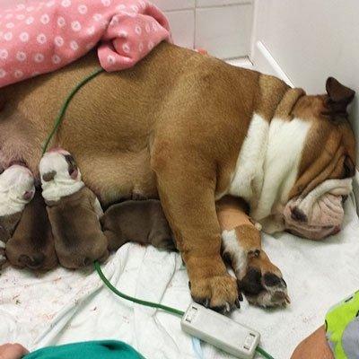 bulldog da veterinario