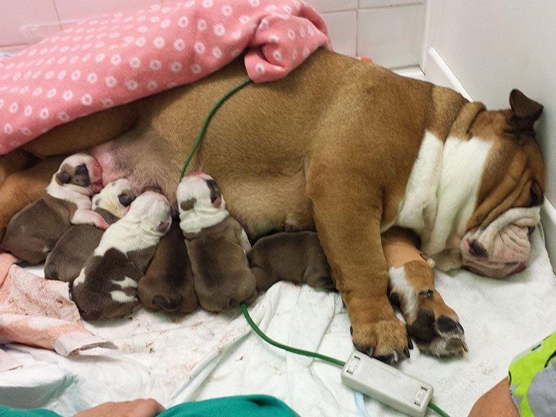 bulldog dal veterinario