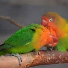 uccelli da gabbia