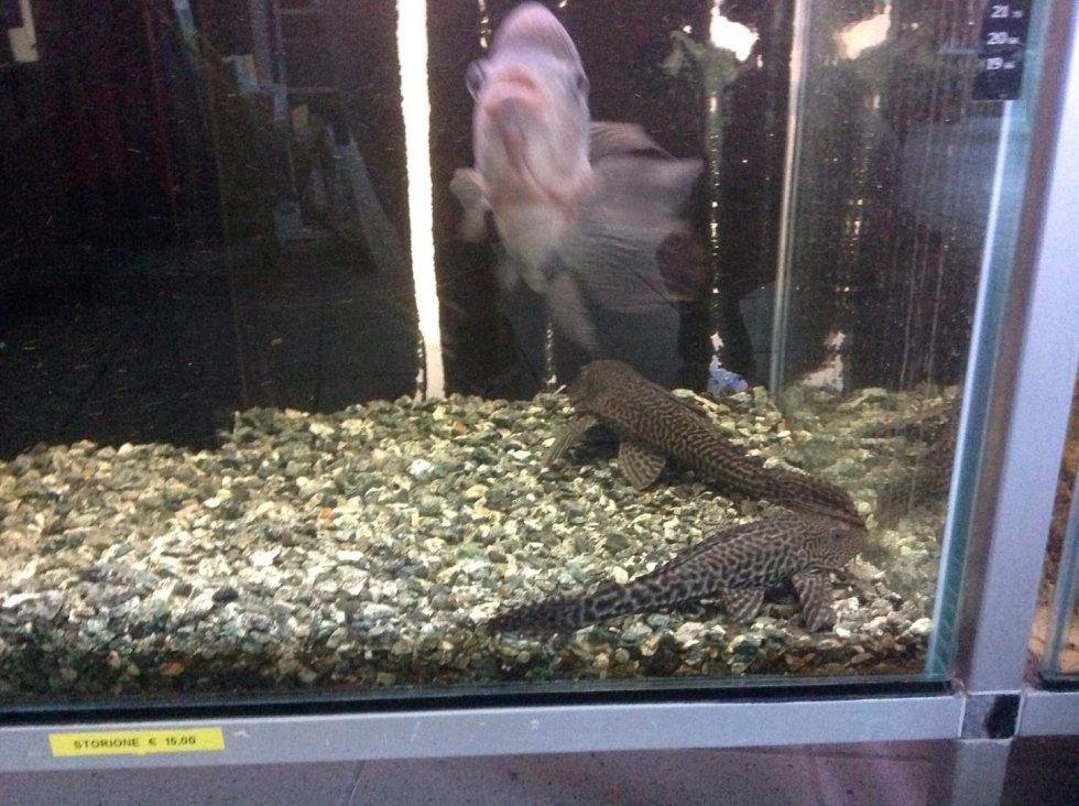 acquario con due pesci pulitori e un  pesce grigio