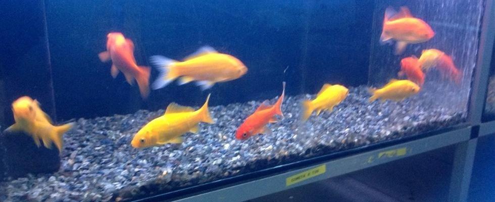 pesci dentro l`acquario