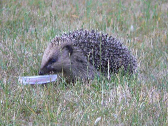 Hedgehog in the wild