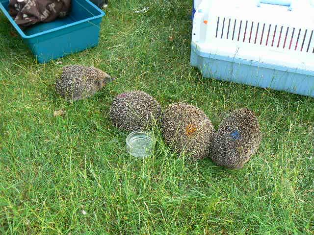 4 hedgehogs