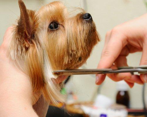 taglio del pelo di uno Yorkshire