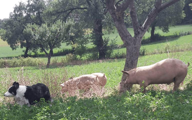 allevamenti suini, maiele nero reatino, maiale reatino, maiale dell'altopiano reatino, salumeria, macelleria,  Agriturismo le Fontanelle, Contigliano, Valle Santa, Rieti