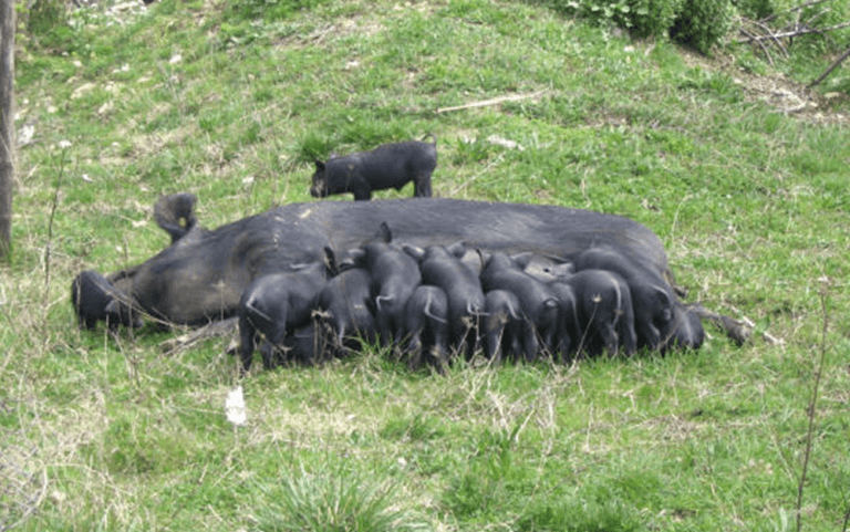 Il nero dei monti Sabini, allevamenti suini, maiele nero reatino, maiale reatino, maiale dell