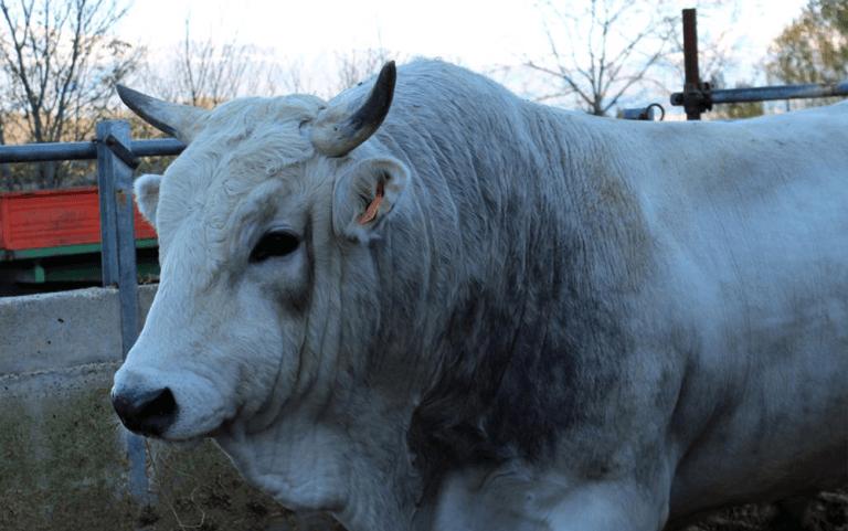 allevamenti di bovini, salumeria, macelleria,  Agriturismo le Fontanelle, Contigliano, Valle Santa, Rieti