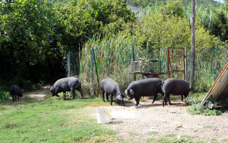 nero dei monti sabini, allevamenti suini, maiele nero reatino, maiale reatino, maiale dell