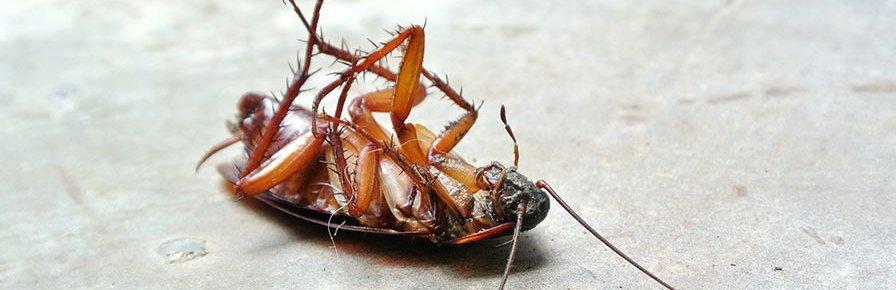 cockroach dead Dynamite Pest Control