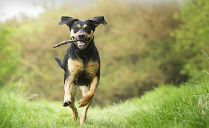black and tan dog running with a stick