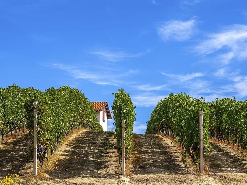 vigne piemontesi