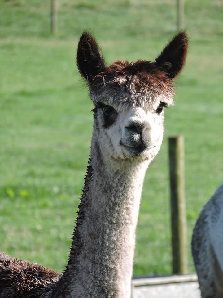 mayfield alpacas animal park in sheffield