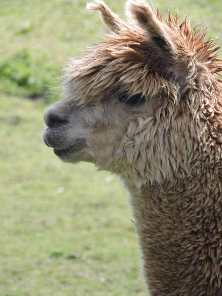 alpaca farm in sheffield