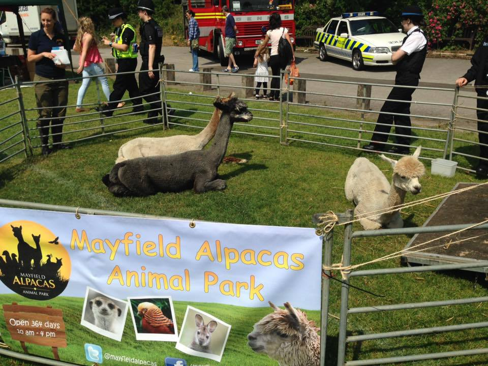alpacas for community visits in Sheffield