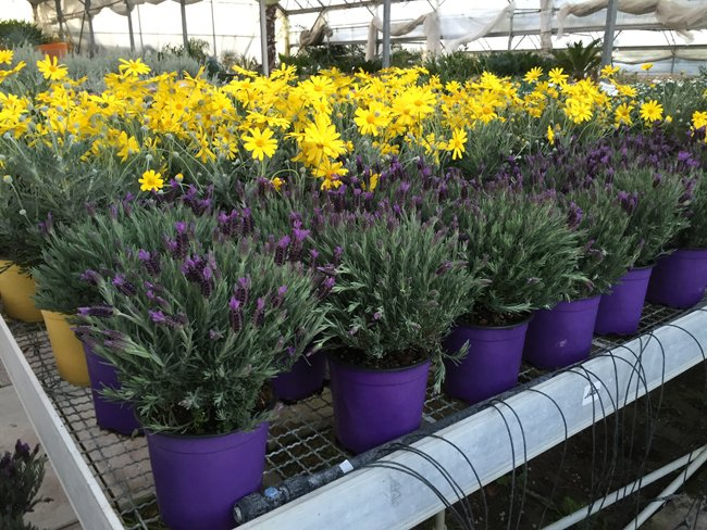 fiori in vendita serra Aratari Vivai