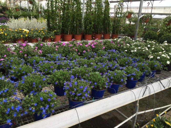 vivaio con fiori blu
