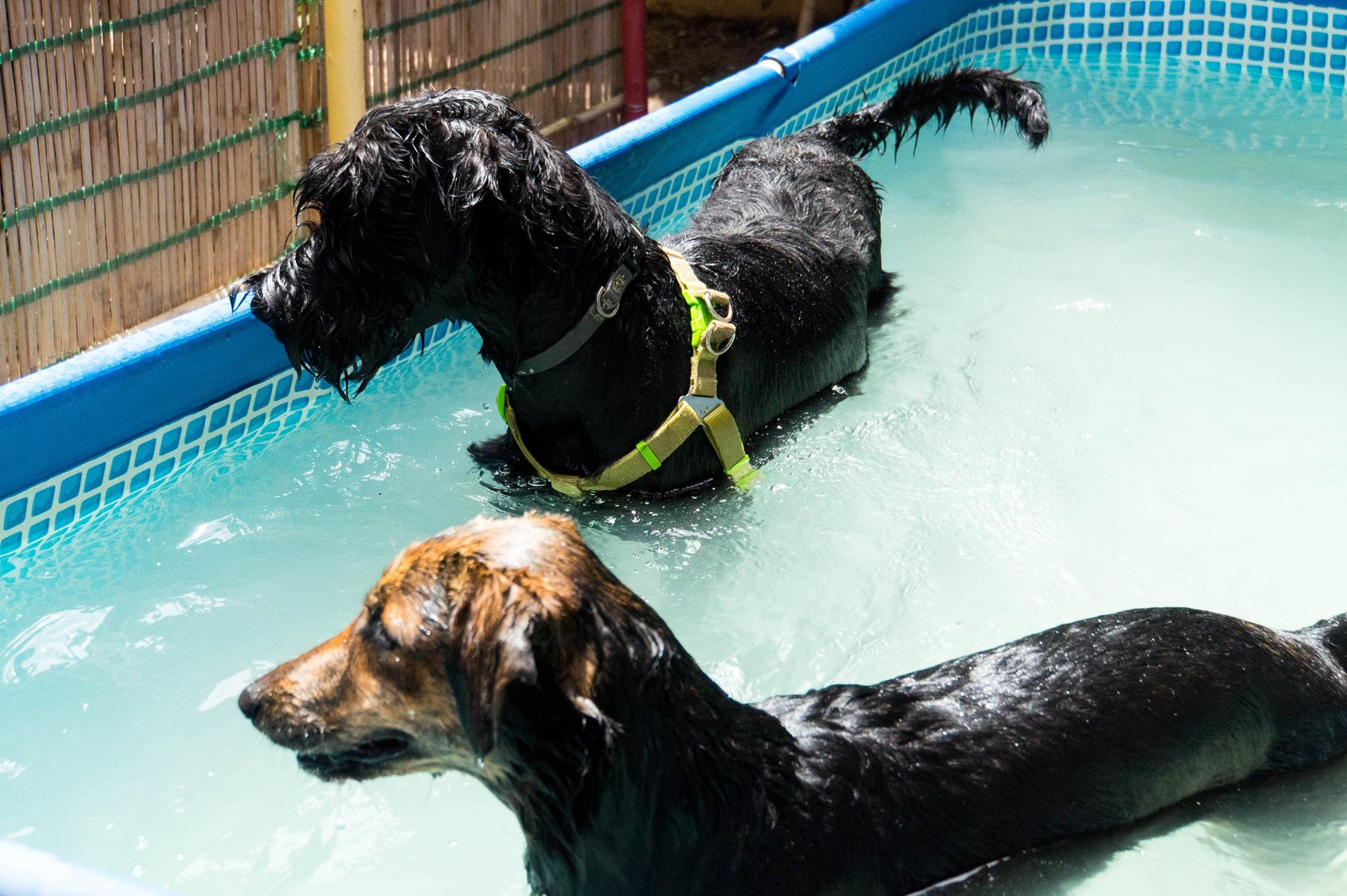 dogs swimming house of hounds dog baycare